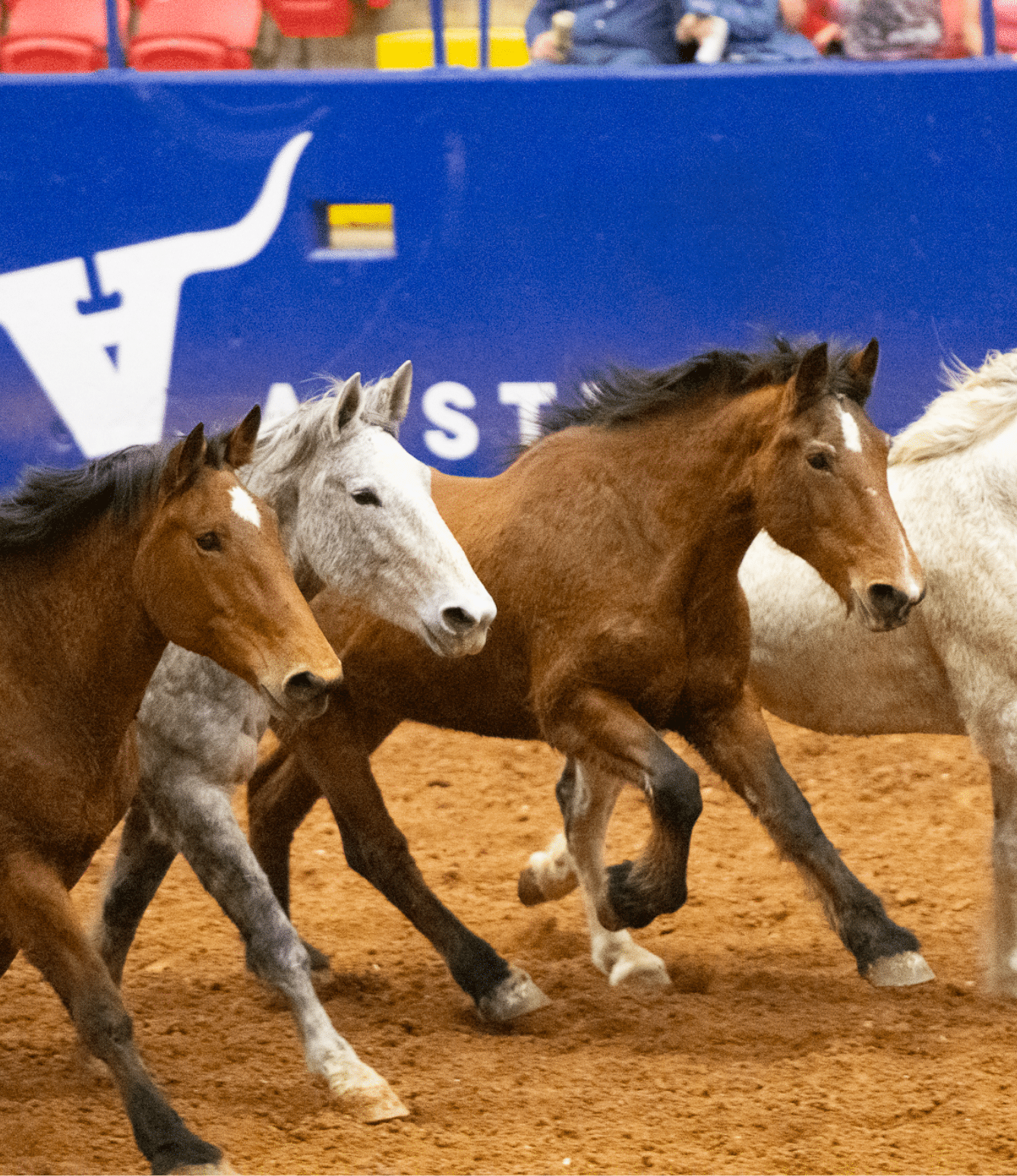 Rodeo horses running through the arena